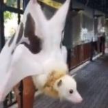 『【アルビノ?】白い身体を持つオオコウモリが可愛すぎる』の画像