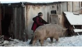 【海外:笑ったら寝ろ】   豚に乗る。