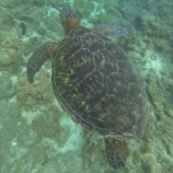 『世界一「亀」と一緒に泳ぎやすい場所 vol.2625』の画像