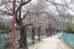 桜並木で有名な免除川でこっそり咲くスノーフレークを発見!~カメラさんぽ~
