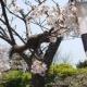 【画像】リスが桜食ってて草