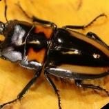 『【色虫の薦め】ビプラギアトゥスノコギリクワガタの特徴と飼育方法』の画像