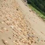 【動画】中国、ヤバすぎる!海岸にまさかの「豚足」が大量に打ち上げられる!