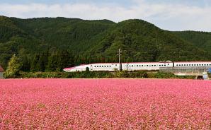 「赤蕎麦畑と秋田新幹線」