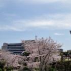 『浜松城と桜☆2017年春』の画像