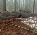 車が下を通れる「トンネルツリー」暴風雨で倒壊、観光名所にもなっていた樹齢1000年以上のセコイアの巨木