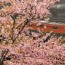 御茶ノ水の河津桜 Ochanomizu