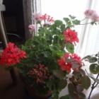 『【ピノ子日記】早めの台風対策・鉢花バラの手当て』の画像