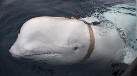 ロシアの軍事訓練を受けたイルカが発見される…ノルウェー沖