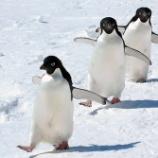 『ペンギンさん危機一髪「シャチだ!助けて~!!あれは!!!」』の画像