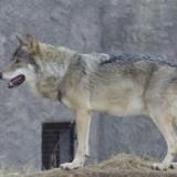 ニホンオオカミって犬でいうとどのレベルの強さなの・・・