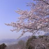 太平山さくらまつり 雪のように舞い降る桜の中を駆け抜ける!(動画付き)