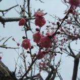『庭の梅(2012年3月)』の画像