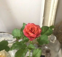*【本当は強いバラ】切花品種の挿し木のお手入れ