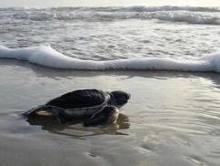 パヨクさん、アカウミガメの産卵場所に火をつけて荒らす!!!!