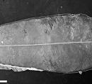 【画像】巨大幼生はオキアナゴ…発見半世紀で謎が判明