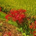 『【植物】ギリギリセーフ?彼岸花【写真あり】』の画像