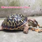 ハコガメと沖縄で暮らす日々