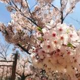 『花隈公園の桜を見てきました!』の画像