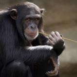 『チンパンジーは「死」を理解できるのだろうか?(京都大学霊長類研究所)』の画像