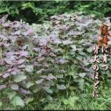 『炎暑の紫蘇』の画像