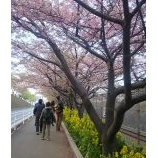 『河津桜 in 三浦海岸』の画像