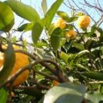 果樹と野菜の栽培時々釣り、横須賀(新)
