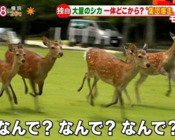 奈良公園の鹿が奈良女子大学を目指して集団暴走(画像あり)