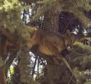 犬や人が怖くて木の上に…野生ピューマ救出大作戦! 保護の瞬間 チリ