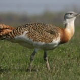 『鳥のオスが繁殖期に有毒昆虫を多く食べる理由』の画像