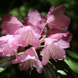 『シャクナゲの花「花看半開」』の画像