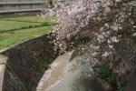 桜はまだまだ楽しめます!免除川の桜with水面がまた風情。