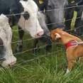 犬が好きでたまらない牛たち…フェンスの前で大渋滞(動画)