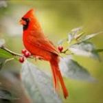【アメリカ】100万羽に1羽?黄色いショウジョウコウカンチョウが庭先!??
