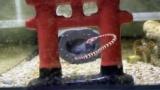【水槽】僕、水棲ドラゴンを飼育してしまう(※画像あり)