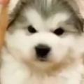 イヌと小さな子犬はとっても仲良しだった。でっかくなっちゃった! → ワンコの成長はとても早い…