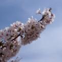 新潟 桜満開