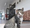 """""""猫駅長""""りょうまが入院  広島市内で点滴、 体重は約半分に    JR芸備線    ※画像"""