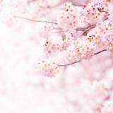【坂口安吾】彡(゚)(゚)「桜が満開やんけ」