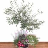 『オリーブとマーガレットの寄せ植えで庭の花壇をイメージして作ってみました。』の画像