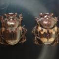 ミツコブエンマコガネが糞虫館にやって来た!