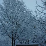『雪でモッコウバラが・・』の画像