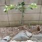 カボス。 枝が横にググッ!と広がっていて、 なんか嬉しい。 ...