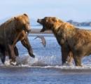 【画像】一匹の鮭を巡ってグリズリーが死闘を繰り広げる!そのエネルギーを鮭の捕獲に回せよ・・・