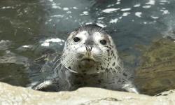 ゴマフアザラシの赤ちゃん「ひすい」と命名 海遊館、今年1月に誕生